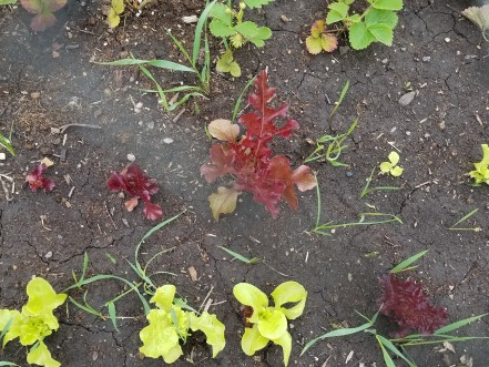 Weedy grass growing with lettuce.